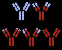 Humanisierte Antikörper
